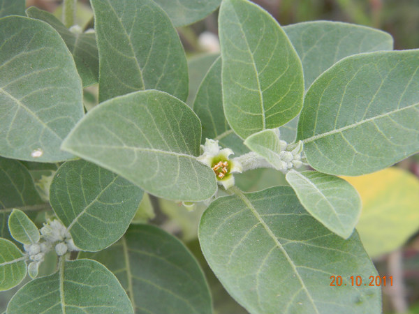 ayurvedic herbs for the mind